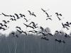 kraanvogels-09196_1024